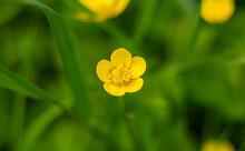 Ranunculus Yellow Wildflower In Meadow