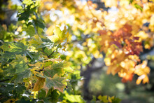 Multicolored Maple Leaves Float In The Wind. Beautiful View Of Bright Autumn Leaves In The Park In The Rays Of The Evening Sun