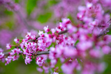 Flowers On The Branches Of The Tree Eastern Redbud Or Cercis Canadensis