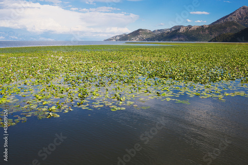 Fotografia Dense thickets of water lilies on the water - the river against the background o