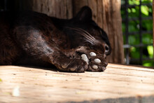 眠るクロヒョウ
