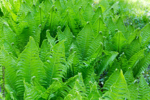 Background of the fern thickets with young leaves Fototapeta