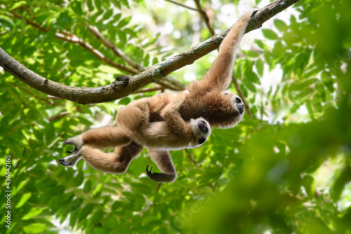 Canvastavla White-handed gibbon carried the child and jumped along the branch
