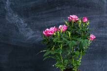 Pink Rosebuds Against The Background Of A Chalk Board, A Bush Of Blooming Miniature Rose.