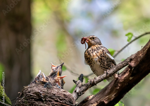 Fotografie, Obraz thrush bird has brought worms to the nest of its hungry chicks and is feeding t