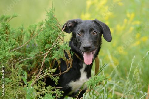 Obraz na plátně Black mongrel dog puppy sitting in the ephedra bush