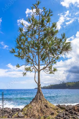 Canvastavla Vacoa pandanus sur plage rocheuse d'Anse des Casca, île de la Réunion