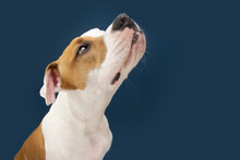 Funny American Staffordshire Dog Looking Up Begging Food. Isolated On Dark Blue Background