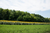Sunflowers bloom along the Front Range in Serbia, SRB