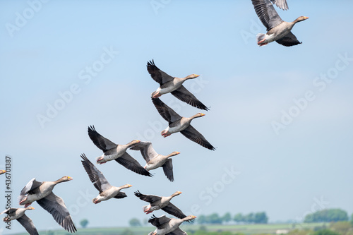 Obraz na płótnie Geese flying at low altitude having just taken off