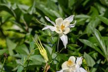 Blooming White Aquilegia Fragrans Flowers.