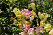 Blooming Pink And Yellow Snapdragon (Antirrhinum Majus) Flowers