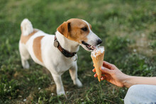 Portrait Of A Happy And Crazy Jack Russell Terrier Dog Eating Ice Cream. Smooth Coat Of Red Color. Cute And Beautiful Dog Has Fun Outdoors.