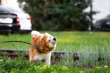 The Dog Breed American Akita Shakes Off And Drools In All Directions On A Walk In The Park. Funny Red-haired Pet With White Color Shakes Off In The City Against The Background Of Rails And Cars.