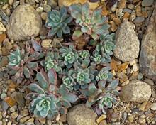 Echevveria Succulent Plants In Between Stones And Rocks, Overhead View