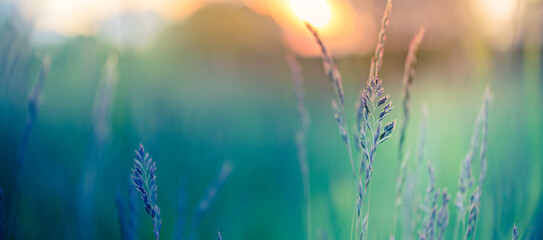 Abstract sunset banner field landscape of grass meadow on warm golden hour sunset or sunrise time. Tranquil spring summer nature closeup and blurred forest background. Idyllic nature scenery