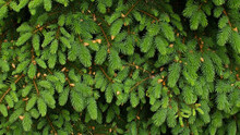 Young Spruce Branches With Young Growing Shoots. Green Natural Background.