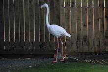 A Close Up Of A Flamingo
