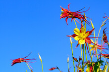 Yellow And Red Aquilegia Flowers Against Blue Sky