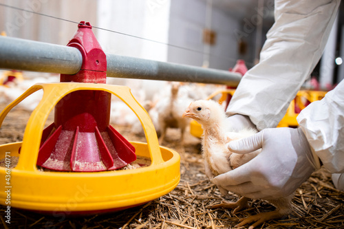 Veterinarian in sterile clothing holding chicken and controlling animals health for food production at poultry farm Fototapeta