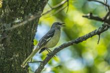 Mockingbird On A Branch Singing