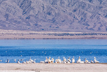 USA, CA, Salton Sea - December 28, 2012: Colony Of White Pelicans Resting At NW Shoreline In Front Of Blue Water And Gray Mountain Flanks In Back.