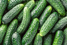 Cucumbers Background Cucumbers Harvest. A Lot Of Cucumbers.Cucumbers Harvest In Summer. Cucumbers For Salads Or Canning. Summer Vegetables.