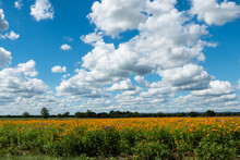 Field Of Black Eyed Susans Under Fluffy White Clouds And Blue Sky In Texas