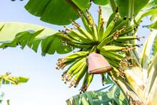 Young Green Bananas On A Tree In Banana Plantation.