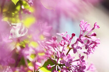 Pink Lilac  Flowers In Spring