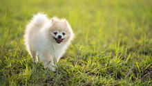Cute Puppies Pomeranian Mixed Breed Pekingese Dog Run On The Grass With Happiness. With Warm Light.