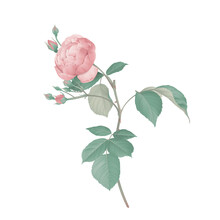 Pink Rose With Leaves On Branch