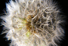 Macro Blooming In Spring, White Flower Dandelion, Close-up Detail Of Petals Against A Background Of Green Grass, Airy Stamens, Seeds For Flight