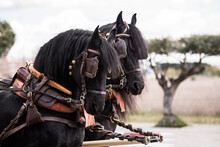 Close-up Of The Heads Of Two Black Andalusian Horses Pulling A Chariot.