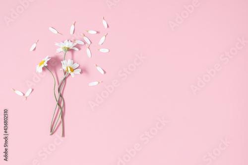 Fototapeta Chamomile flowers on pink background