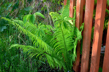 Young Fern Leaves Sprouted Through The Wooden Fence.
