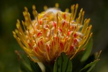 Yellow Leucospermum Catherinae, Catherine-wheel Protea Natural Macro Floral Background
