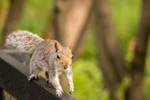 Grey Squirrel Running Along A Hand Rail At Staffordshire Wildlife Trust
