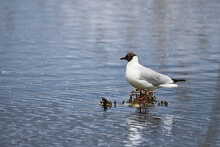 Black-headed Gull Stands On A Flooded Floating Nest In The Water (Larus Ridibundus)