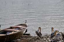 Vintage And Wooden Made Single Fishing Boat And Groups Of Storks Or Pelican Near The Old And Ancient Boat Made Of Stone With Uluabat Lake Background In Golyazi, Bursa, Turkey.