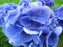 Blue Hydrangea Flowers Close-up. Floral Background.