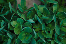 Crassula Pellucida Succulent Crassulaceae Stonecrop With Rain Drops On Green Leaves In Garden.