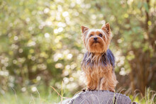 Yorkshire Terrier Portrait In The Forest