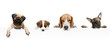 Collage made of funny dogs different breeds posing isolated over white studio background.
