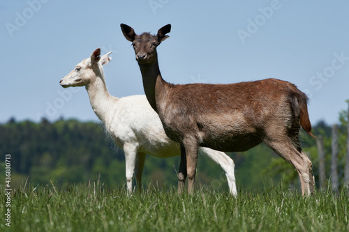 Two white and brown fallow deer does (Dama dama) standing in meadow Fotobehang