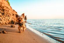 Yorkshire Terrier Dog Walks On The Sand On The Beach