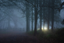 Early Morning Mist With Car Head Lights Through The Pine Trees