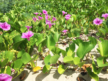 Beautiful Purple Flowers On The Beach Background