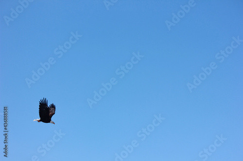 Obraz na płótnie A Bald eagle flying over Green Canyon