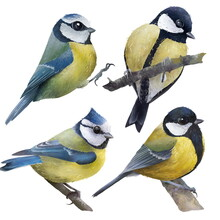 Portrait Of Cute Birds (blue Tits, Great Tits) Standing On A Branch Isolated Hand Drawn Illustration. Isolated On White